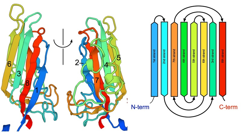 Coat protein of satellite tobacco necrosis virus and its Jellyroll topology